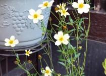 「ウィンターコスモス咲いてます」