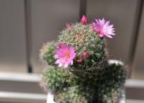 「サボテンの花が咲きました」