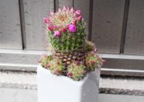 「サボテンの花」